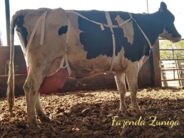 Em fazenda mineira, vacas leiteiras usam sutiã e evitam problemas no úbere