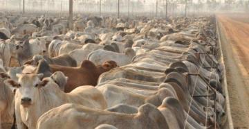 Preços do boi gordo seguem elevados e ritmo dos negócios aumenta