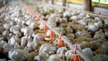 Produtores de frango têm custo até 19% menor com milho no Paraná