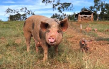 Criação de Suínos ao Ar Livre garante maior produtividade e qualidade da carne