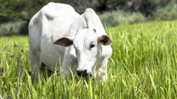 Confira as tendências para o mercado do boi gordo em 2021