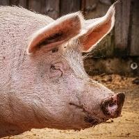 Carne suína: produção na China deve aumentar 14% em 2021, diz USDA
