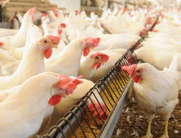 Exportação de carne de frango: o maior volume de 2021 e o melhor maio da história